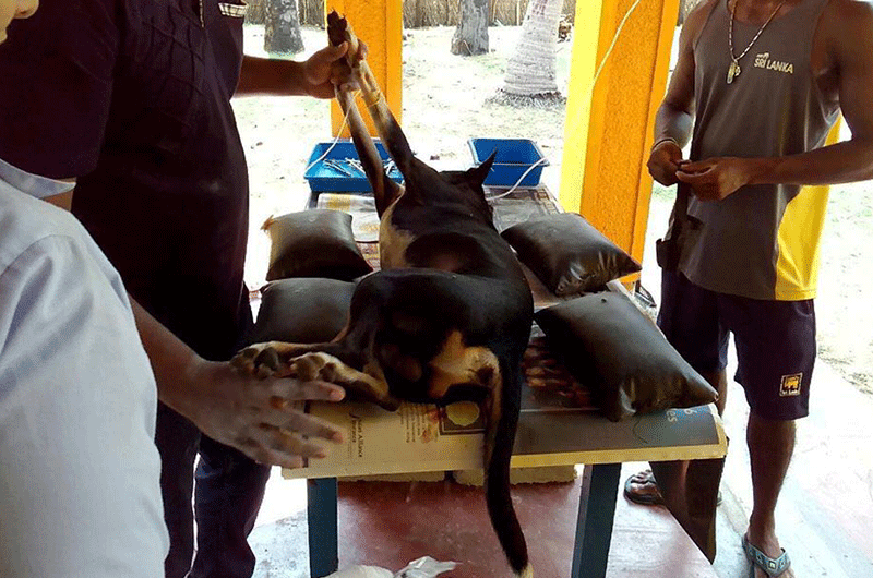 DogsSurgeryKalpitiya